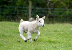 Lamb running in field, Keswick. English Lake District Stock Photo