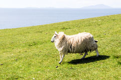 Lamb running quickly over a green field Royalty Free Stock Photography