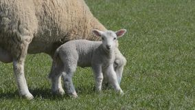 Lamb running to ewe for protection stock video