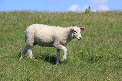 A lamb runs on a on the Island of Sylt. House sheep also be used for the landscape preservation and for the protection, like here at Morsum on the island of Sylt royalty free stock photography