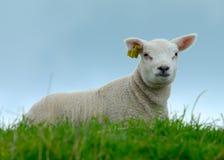 lamb słodki Zdjęcie Royalty Free