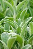 Lamb's ear plant Royalty Free Stock Image