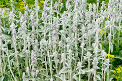 Lamb's Ear Royalty Free Stock Image