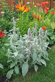 Lamb`s Ears Stachys byzantina. Growing in a garden bed with lilies and poppies Stock Photography