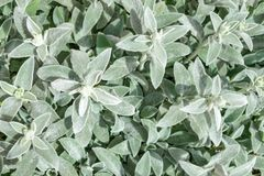 Lamb`s Ears, Turkish lamb`s ear, Stachys byzantine, woolly hedge. Grey and green leaves stock photos