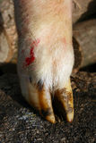 Lamb's hoof Royalty Free Stock Images