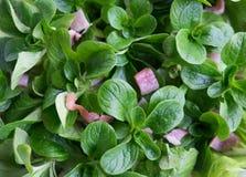 Lamb`s lettuce and bacon salad - Valerianella locusta. Known as corn salad, mache, fetticus, feldsalat, nusslisalat, nut lettuce, rapunzel royalty free stock photography