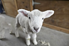 Lamb on a shearing farm. Standing and looking directly Stock Image