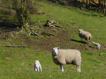 Lamb and sheep. Spring time lamb and sheep in farmers field Stock Photos
