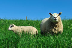 Lamb and sheep. Dutch lamb whit his mother on a field in the summer Royalty Free Stock Image