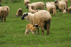 Lamb and sheep. Little lamb and sheep on green grass Stock Photo