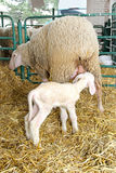 Lamb and sheep Stock Photo