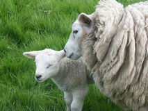 Lamb and sheep. On meadow,high grass around Royalty Free Stock Image