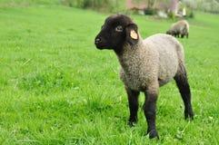 Lamb sheep. Lamb, little sheep in green grass, background Royalty Free Stock Photos