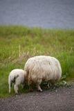 Lamb and sheep Stock Photo