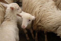 Lamb/sheep. Lamb and sheep trying to trust Stock Photos
