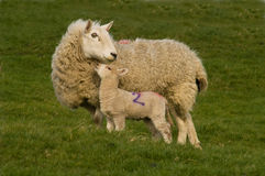 Lamb and sheep. Cute little lamb and sheep against grass on a field Royalty Free Stock Photo
