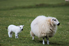Lamb and sheep Stock Photos
