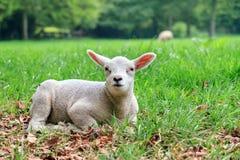Lamb sheep Stock Photos