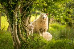 Lamb and sheep divided by a fence. Seen near Clynderwen, Pembrokeshire, Dyfed, Wales, UK Royalty Free Stock Image