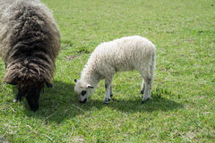 Lamb with sheep eating grass Royalty Free Stock Images