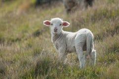 Lamb Royalty Free Stock Photography