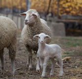 Lamb and sheep on the farm Royalty Free Stock Photos