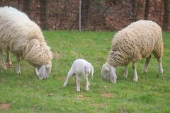 Lamb and sheep in the field. A lamb and the sheep in the field Stock Photos