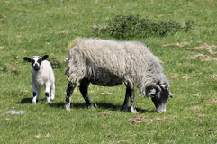 Lamb and sheep in field Stock Photos