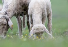 Lamb and sheep grazing on meadow Royalty Free Stock Images