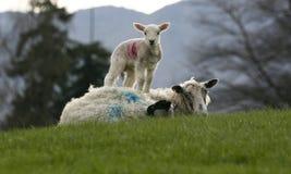 Lamb with sheep Stock Image