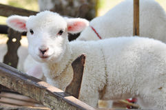 Lamb sheep Royalty Free Stock Photo