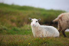 Lamb sheep lying in the meadow Stock Images