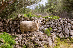 Lamb sheep in mediterranean landscape at Menorca Royalty Free Stock Photos