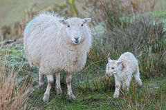 Lamb and sheep. One hour old newborn Spring lamb taking first steps and mother sheep at daybreak Royalty Free Stock Images