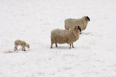 Lamb and sheep in the Snow. Aberdeen, Scotland Royalty Free Stock Image