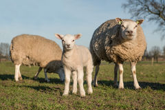 Lamb and sheep standing next to each other on a sunny day facing the camera Stock Image