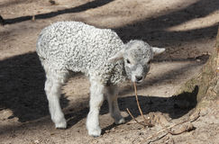 Lamb in the shelter Royalty Free Stock Images