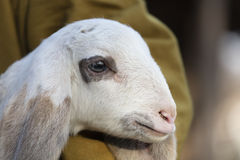 Lamb with sheperd Royalty Free Stock Photos