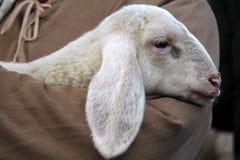 Lamb with shepherd. A cute lamb with shepherd Stock Image