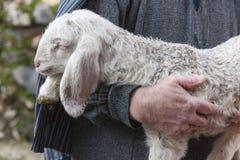 Lamb with shepherd Royalty Free Stock Photos