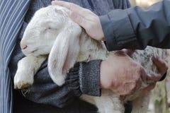 Lamb with shepherd. A cute lamb with shepherd Royalty Free Stock Image