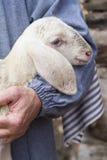 Lamb with shepherd Royalty Free Stock Image