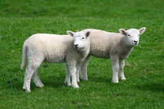 Lamb siblings Stock Photo
