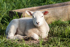 Lamb Stock Photography