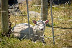 Lamb Sitting Behind Fence On Sunny New Zealand Day. Lamb watches passerby from farm fence line, dreaming of freedom.  Wainuiomata, New Zealand Stock Photography