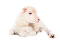 Lamb sitting Stock Photo