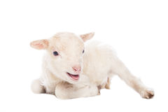 Lamb sitting Royalty Free Stock Photography