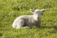 Lamb. Sitting in a paddock Royalty Free Stock Photography