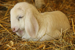 Lamb sleeping in the straw. A lamb sleeping in the straw Stock Images